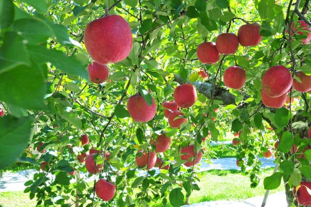 福島の恵まれた大地で育ったサンふじリンゴ