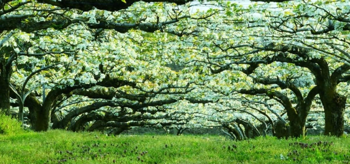 萱場の梨畑