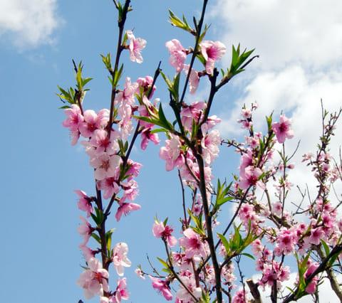 桃の花びら
