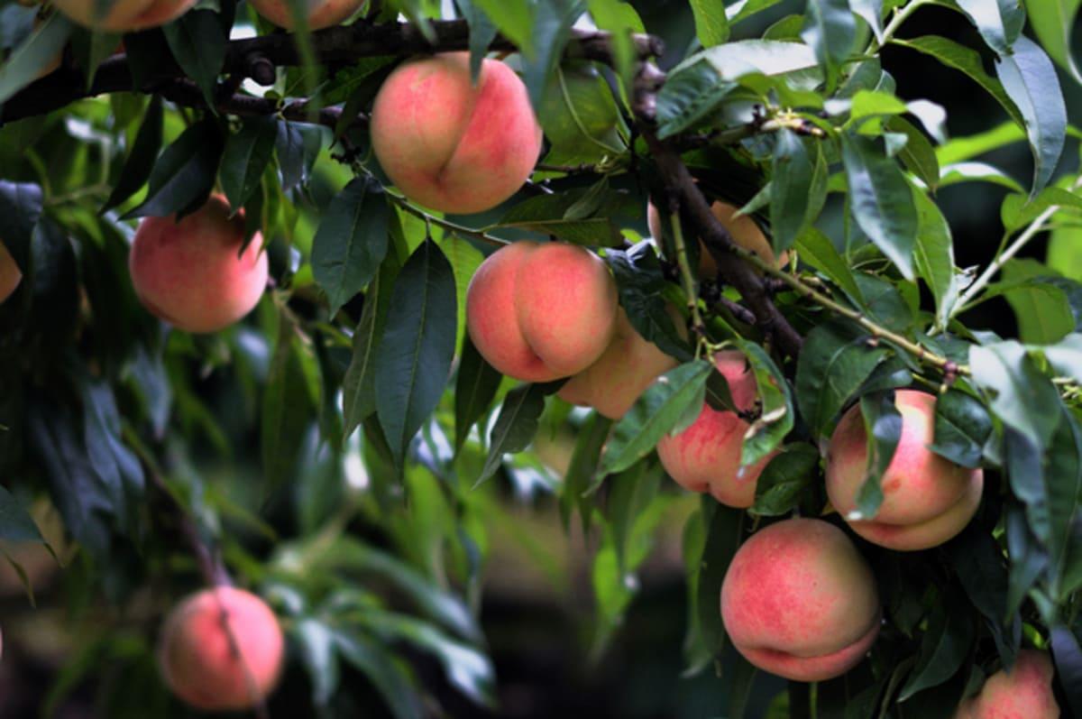 いっぱいに実を付けた桃の木