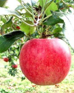 果物王国福島のサンふじリンゴ